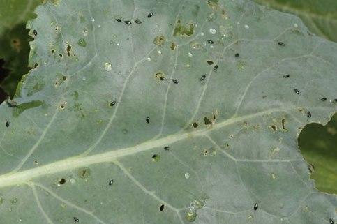 flea-beetle-3