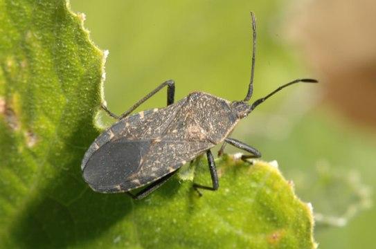 squash-bugs-1