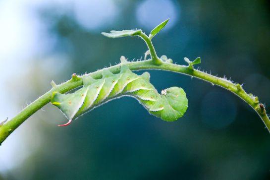 TomatoHornworms-1830204_1920-59092dfa5f9b586470e09ef4
